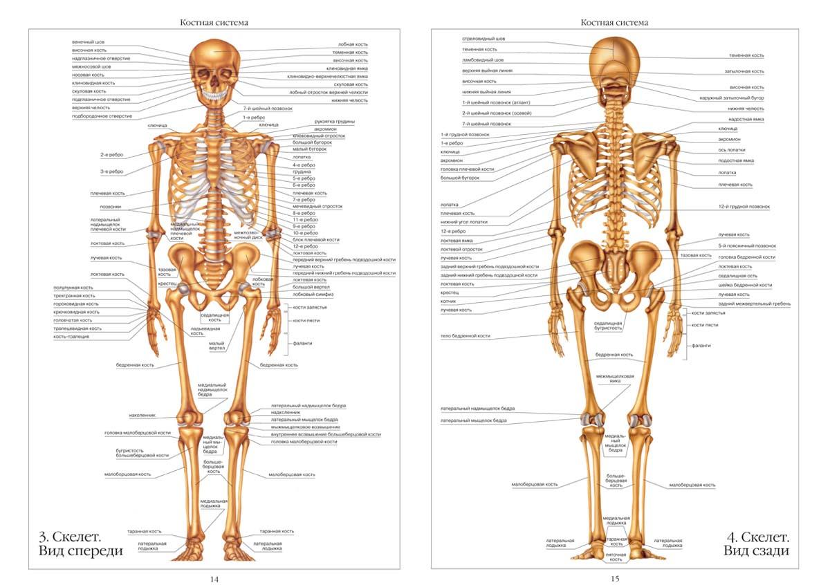 Скелет человека схема фото